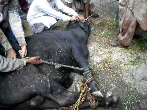 cow qurbani 2009 in gujranwala - YouTubeQurbani Cow 2009