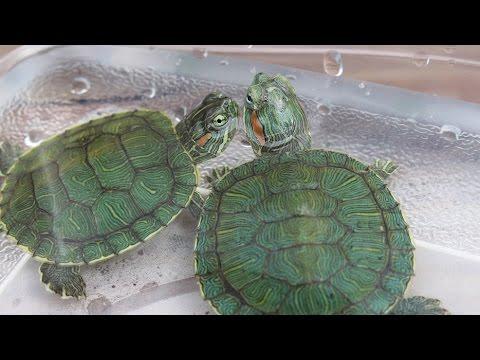 Brushing Baby Turtle Shells!