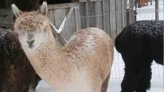 Pen Cuckoo Alpaca Farm, Feb 2013.AVI