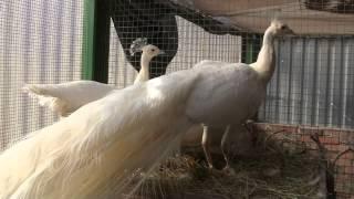 Белый павлин в питомнике ДонЗоо