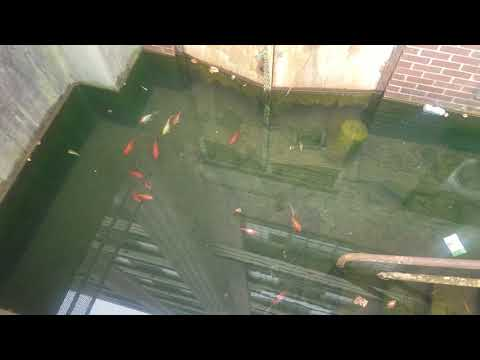 The Ace & TJ Show - Goldfish THRIVING in Abandoned Building!