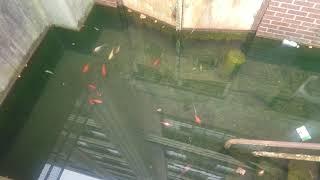 Abandoned goldfish UPDATE
