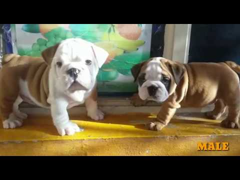 british-bulldog-puppies-compilation-video-(india)-beautiful-english-bulldogs-pups-kci-registered