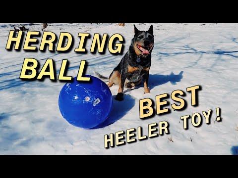 I Bought my Blue Heeler a Herding Ball