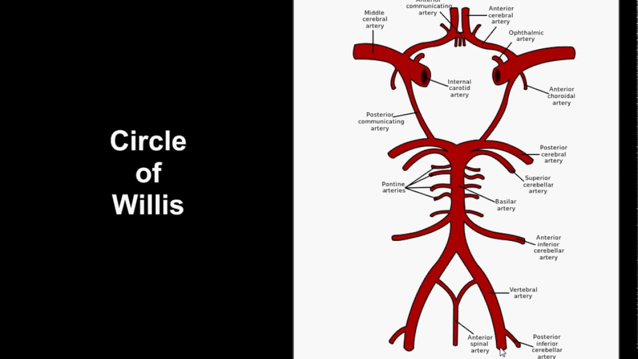 Intracranial Arterial Anatomy - Circle of Willis - YouTube