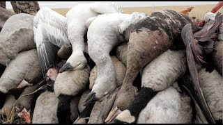 Hired to Hunt Season 4 #8:  That's How We Roll!  Duck and Goose Hunting.  Limit Hunts in Alberta