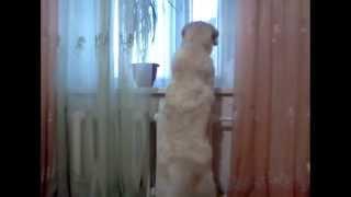 Мой любимый голден ретривер Алиска)
