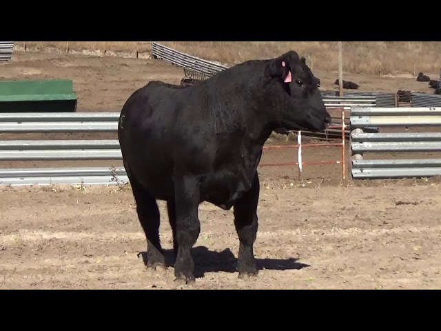 Connealy Angus Lot 171