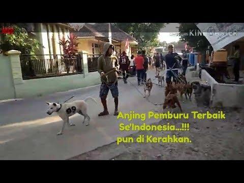 Djarum Adventure   Event Terbesar Se'Indonesia , Berburu Babi Hutan Di Kuningan ...!!!