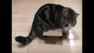 Упрямый кот Мару штурмует коробку!(Даже если попа не помещает в коробку, он залезет в неё частично, но при этом будет недоволен и будет размахив..., 2016-05-26T17:18:21.000Z)