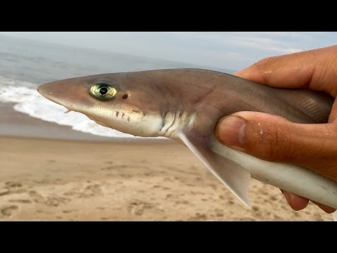 Baby Sharks!!! Surf Fishing at Rehoboth Beach