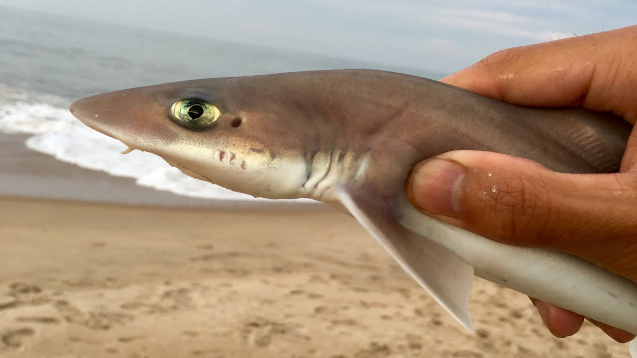 Baby sharks surf fishing at rehoboth beach youtube for Rehoboth beach fishing