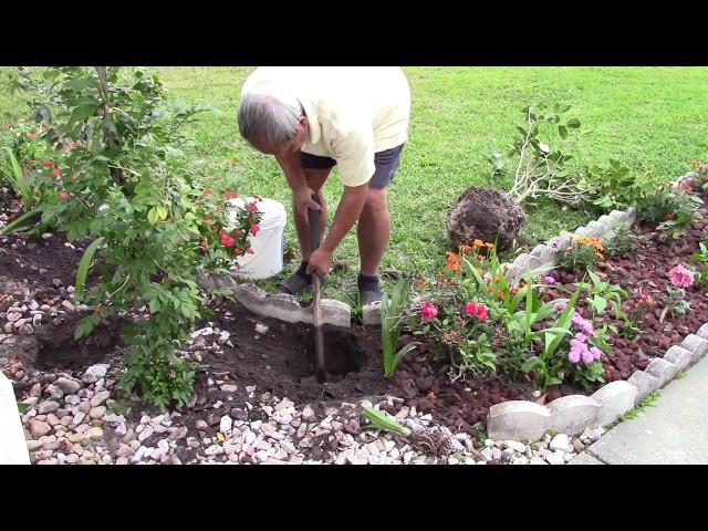 Trồng trọt ở Mỹ 7: Dời Cây Bông Trà (Transplanting a Camellia Plant) 20170304