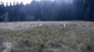 SAR dog training with Siberian husky - Balto