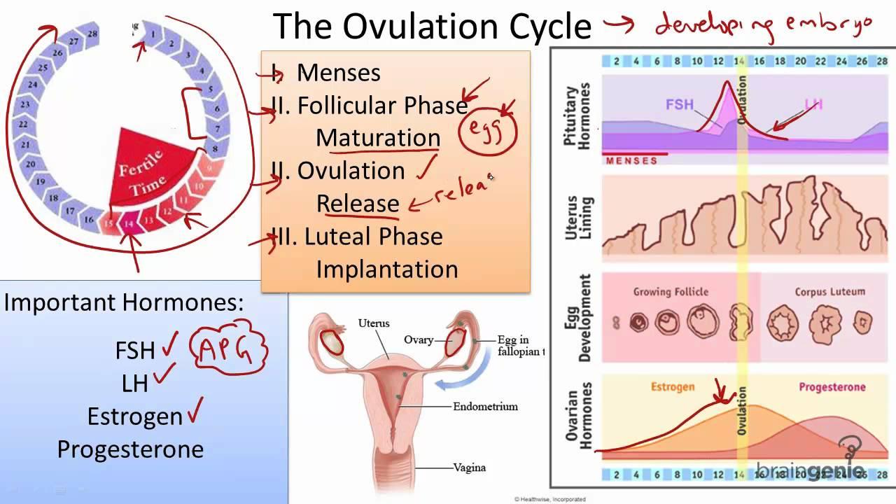 Menstrual Cycle Pre Post Ovulation Ovulation Calculator ...