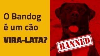O Bandog é um cão vira-lata?
