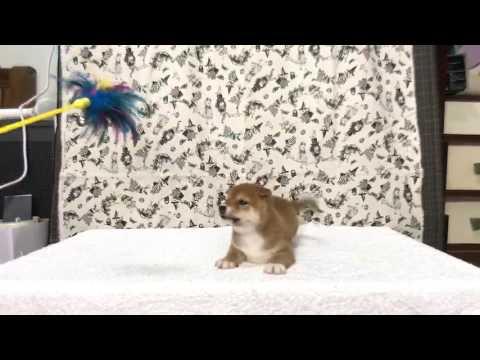 PuppyFinder.com : Red/Yellow Shiba Inu puppy