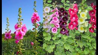 كل شي عن نبات الختمه اسهل نباتات الزينه (من البذره حتى الأزهار )مع الفوائد الطبيه
