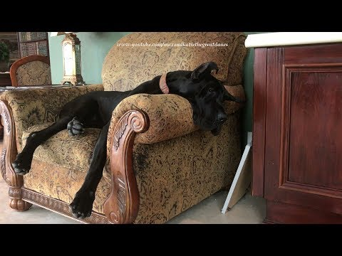 Adopted Great Dane Enjoys Her First Nap on the Furniture