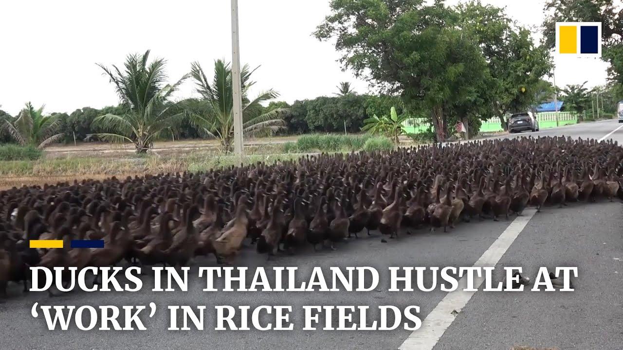 """Ducks in Thailand hustle at """"work"""" in rice fields"""