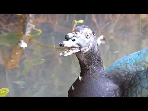 fauna pantanal PATO DO MATO animais vida selvagem brasileira brazilian pantaneira silvestre brasil