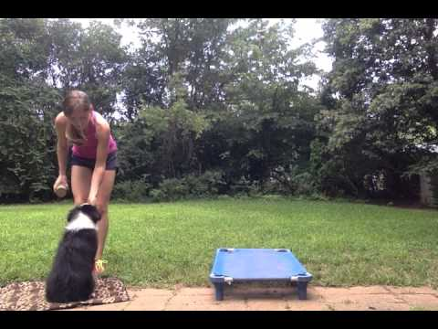 Jubilee - 13 week old Australian Shepherd: Day 2: Introducing sit/down/place/come outside