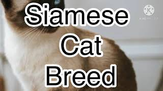 A complete detailed video on Siamese Cat breed| Siamese Cat Breed | A detailed video | Blue Sky |