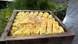 日本ハチミツを採蜜する方法 How to harvest honey from a bee colony