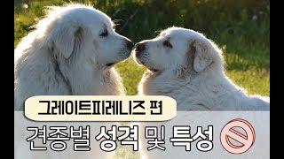 [강아지 소개] 귀엽고 온순한 초대형견 그레이트 피레니…