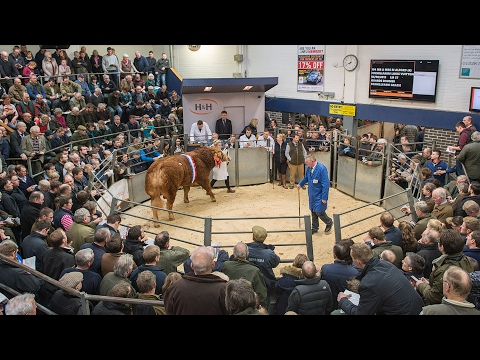 British Limousin Bull Sale (16 Bulls prices 10,000 gns - 30,000 gns) Carlisle February 17th 2017