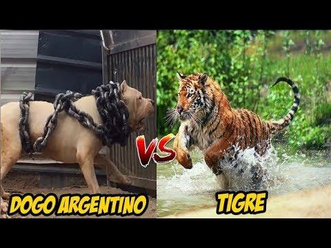 Dogo Argentino Encarando A Un Tigre | Prueba De Valor