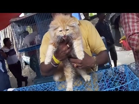 Playful Long Haired Cute Persian Cat For Pet Lover At Galiff Street l Long Haired Persian Cat