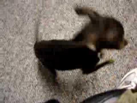 how to make a chihuahua howl