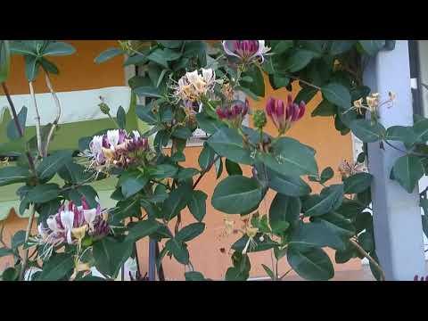 Жимолость Каприфоль душистая. Малоуходный сад. Вьющиеся многолетники.