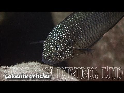 Lake Tanganyika Cichlids In The Wild (HD 1080p)