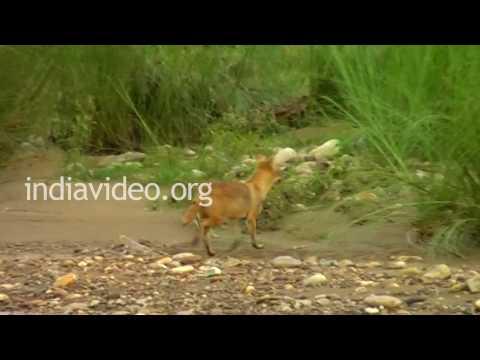 Jackal in Rajaji National Park near Haridwar