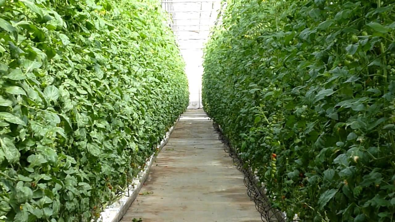 cultivo de tomate hidroponico en invernadero