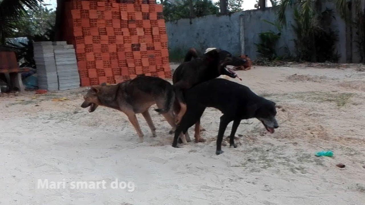 mrblaze1711 #030   Thai street Dogs meeting Enjoy a season by rural dogs - Village Dogs Mating
