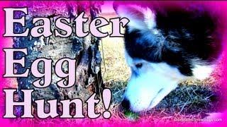 Dog Easter Egg Hunting! Siberian Husky Egg Hunting!