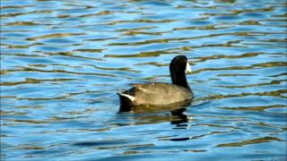 American Coot Eats Seeds on a Lake, San Marcos, California