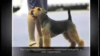 Маленькие породы собак  ВЕЛЬШТЕРЬЕР
