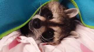 Buster Raccoon does not like the cold weather.  He needs some motivation to wake up. TREATS!!!!
