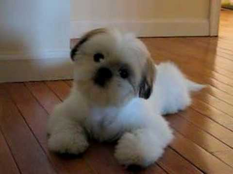 Cutest Shih Tzu Puppy Romeo Tilting Head Cuter Boo Youtube