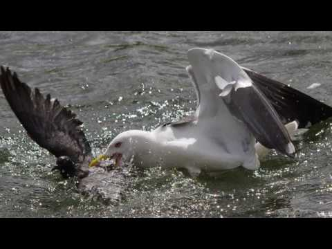 The gull who eats pigeons