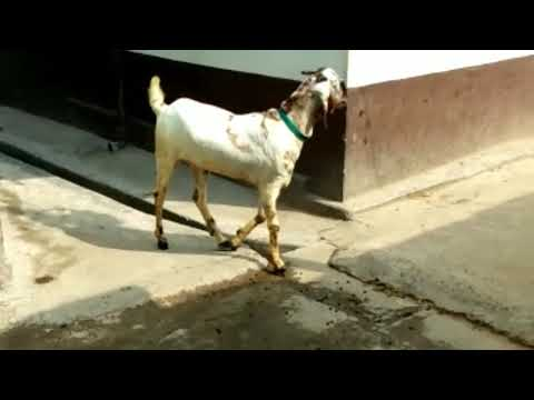 BAKRA FOR QURBANI GOAT