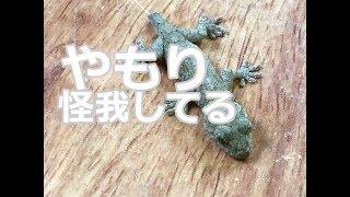 けが人ヤモリたち thumbnail