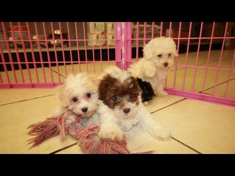 Malti Poo, Puppies For Sale, In Mobile, County, Alabama, AL, 19Breeders, Tuscaloosa, Decatur