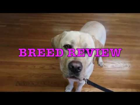 Labrador Retriever Review