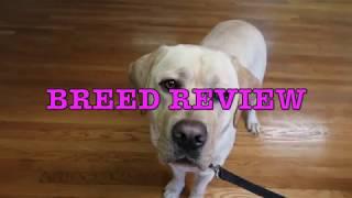 Labrador Retriever Review