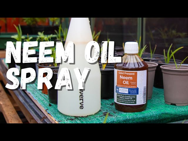 How to make a neem oil spray for pest control in your garden